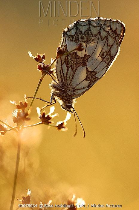 Marbled white butterfly (Melanargia galathea) backlit, Devon, UK  -  Ross Hoddinott/ npl