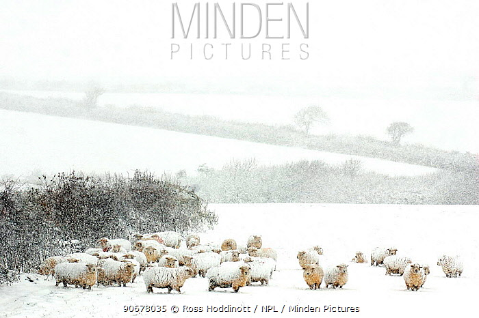 Domestic Sheep (Ovis aries) in winter blizzard, nr Bradworthy, Devon, UK  -  Ross Hoddinott/ npl