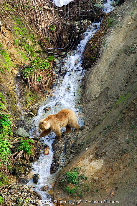 Female Kamchatka Brown bear (Ursus arctos beringianus) crossing stream, Valley of the Geysers, Kronotsky Zapovednik Reserve, Kamchatka, Russia  -  Igor Shpilenok/ npl