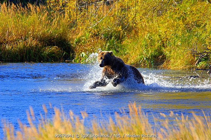 Kamchatka Brown bear (Ursus arctos beringianus) leaping for Calico salmon during spawning season, Kronotsky River, Kronotsky Zapovednik Reserve, Kamchatka, Russia  -  Igor Shpilenok/ npl