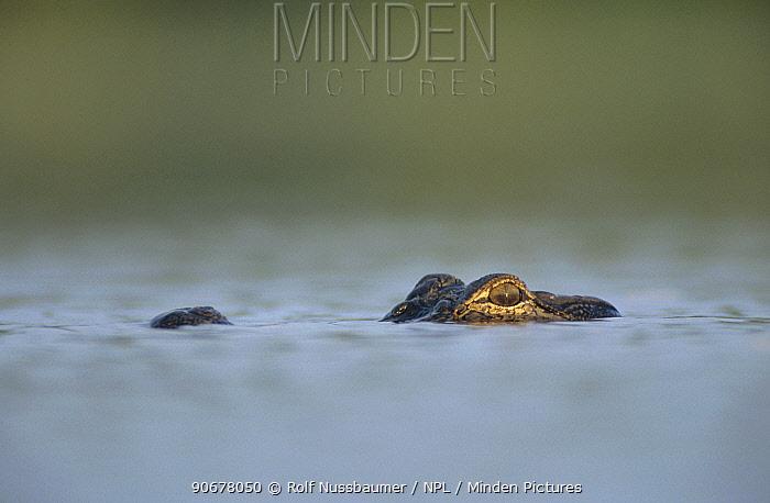 American alligator (Alligator mississippiensis) floating at water surface, Welder Wildlife Refuge, Sinton, Texas, USA  -  Rolf Nussbaumer/ npl