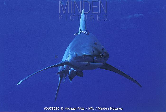 Oceanic whitetip shark (Carcharhinus longimanus) and Pilotfish (Naucrates ductor) Red Sea  -  Michael Pitts/ npl