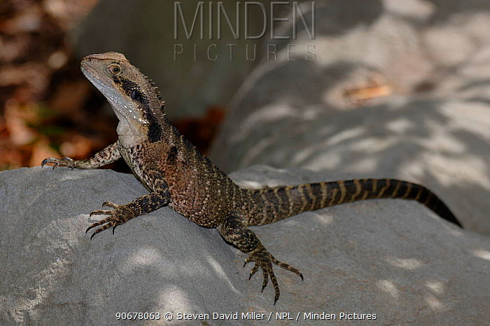 Lesuer's, Eastern Water Dragon, southern form (Physignathus lesueurii) Sydney Chinese Gardens, New South Wales, Australia  -  Steven David Miller/ npl