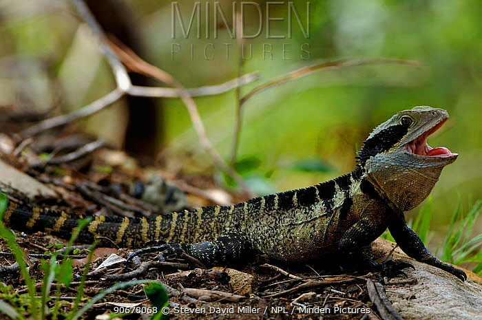 Lesuer's, Eastern Water Dragon, southern form (Physignathus lesueurii) mouth open, tongue exposed, emerging from burrow to warm up, Lane Cove NP, New South Wales, Australia  -  Steven David Miller/ npl