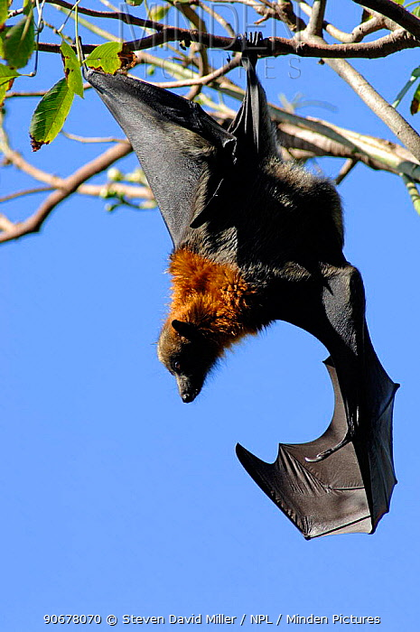 Grey-headed Flying-fox (Pteropus poliocephalus) hanging from tree branch with wing open, Sydney Botanical Gardens, New South Wales, Australia  -  Steven David Miller/ npl