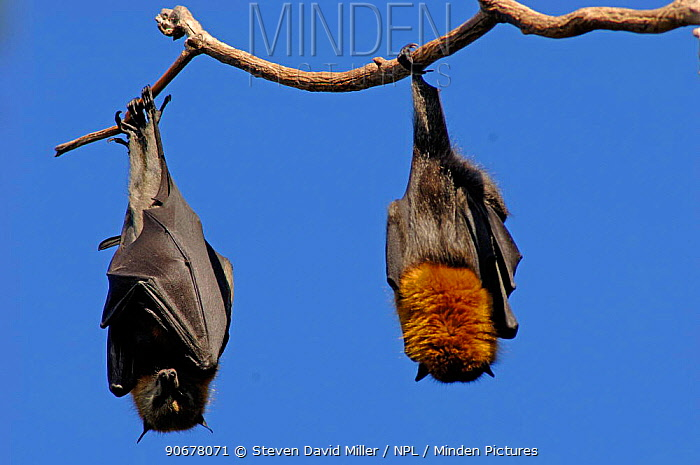 Grey-headed Flying-fox (Pteropus poliocephalus) roosting with wings wrapped around body, Sydney Botanical Gardens, New South Wales, Australia  -  Steven David Miller/ npl