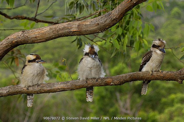 Laughing Kookaburras (Dacelo novaeguineae) three adults sitting on branch of Eucalyptus tree, Lane Cove NP, New South Wales, Australia  -  Steven David Miller/ npl