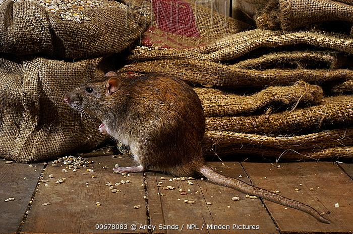 Brown Rat (Rattus norvegicus) Feeding on grain, captive, UK  -  Andy Sands/ npl