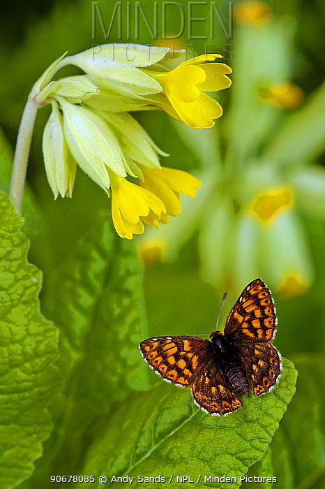 Duke of Burgundy butterfly (Hamearis lucina) basking with wings open on Cowslip, Captive, UK  -  Andy Sands/ npl