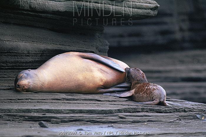 Californian sealion (Zalophus californianus) suckling pup, Galapagos  -  Tom Vezo/ npl