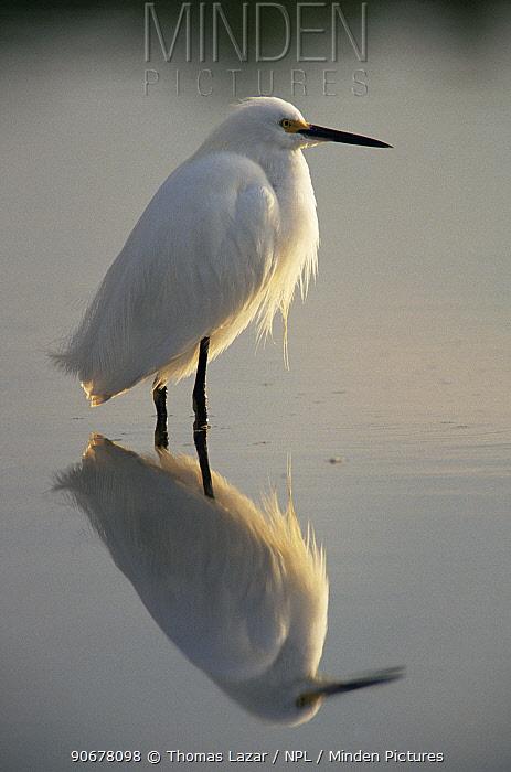 Portrait of Snowy egret (Egretta thula) in water with reflection, JN Ding Darling NWR, Sanibel Island, Florida, USA  -  Thomas Lazar/ npl