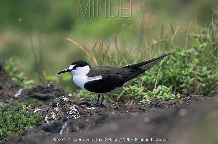 Sooty tern (Onychoprion fuscatus), Lord Howe Island, Australia  -  Steven David Miller/ npl