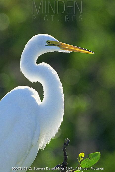 Portrait of Great egret (Ardea alba), Florida, USA  -  Steven David Miller/ npl