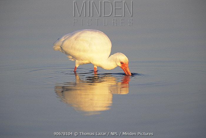 White ibis (Eudocimus albus) feeding in water, Meyers Beach, Florida, USA  -  Thomas Lazar/ npl