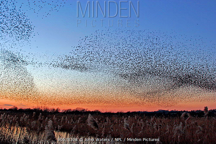 Starling Flock flying to roost at sunset (Sturnus vulgaris) Westhay Nature Reserve, Somerset Levels, UK  -  John Waters/ npl