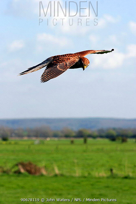 Sub-adult Kestrel (Falco tinnunculus) hovering in flight over farmland, captive, Somerset, UK  -  John Waters/ npl