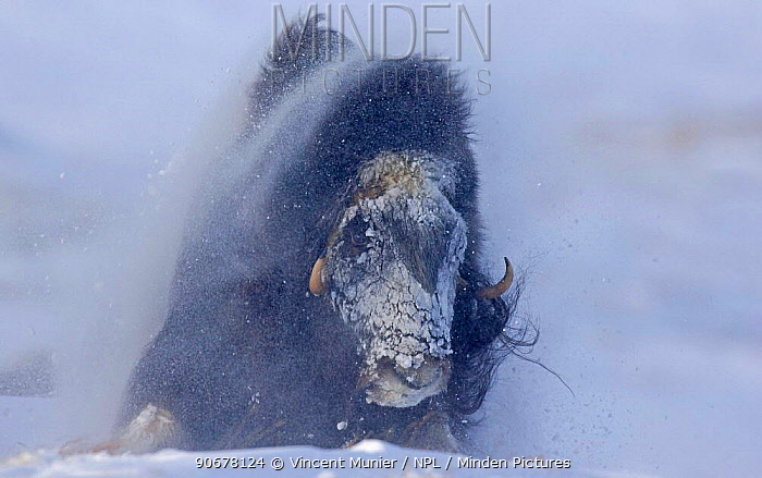 Muskox (Ovibos moschatus) standing against wind and snow in blizzard, Norway  -  Vincent Munier/ npl
