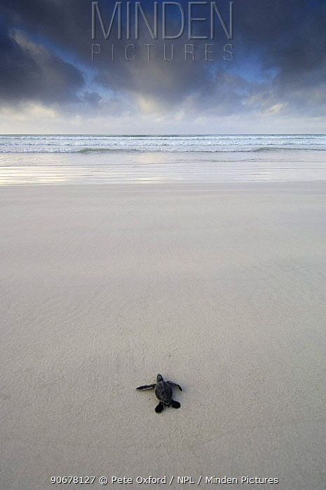 Galapagos green turtle hatchling (Chelonia mydas agassisi) heading for the ocean Tortuga Bay, Santa Cruz Is, Galapagos  -  Pete Oxford/ npl