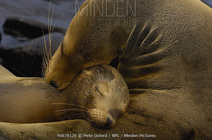 Galapagos sealions (Zalophus californianus wollebaeki) Mother and pup, Espa�ola, Hood Is, Galapagos  -  Pete Oxford/ npl