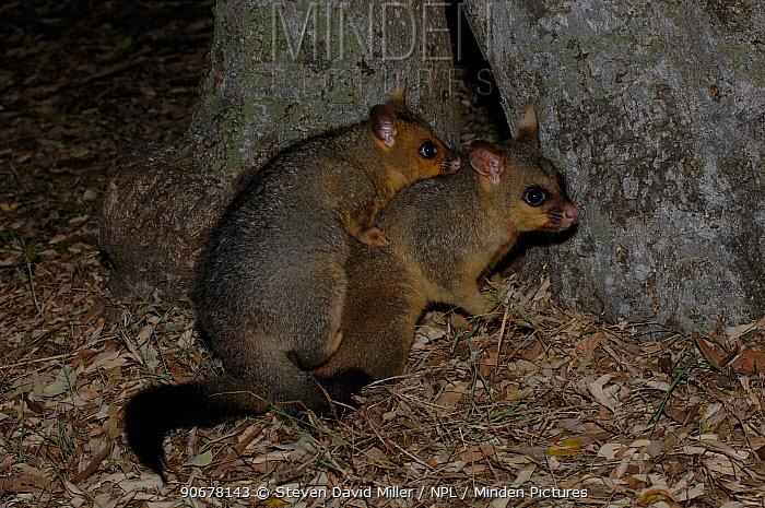 Common Brushtail Possum (Trichosurus vulpecula)  -  Steven David Miller/ npl