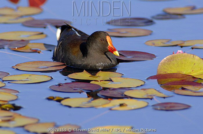 Dusky Moorhen (Gallinula tenebrosa) foraging for food in Lily pond, Mapleton, Queensland, Australia  -  Steven David Miller/ npl
