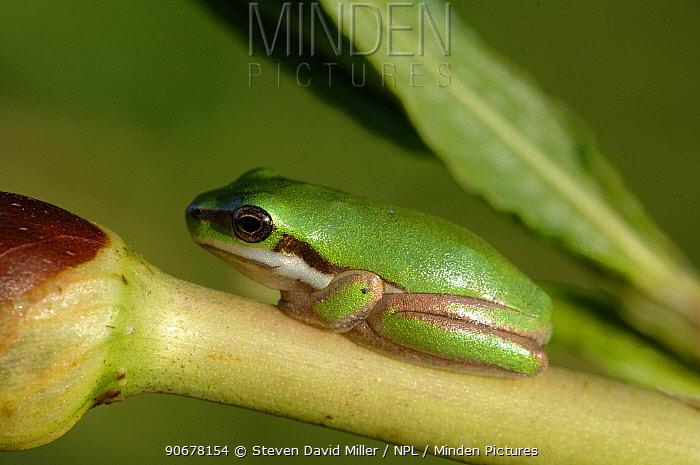 Eastern Dwarf Tree Frog (Litoria fallax) resting on blade of pond grass, Queensland, Australia  -  Steven David Miller/ npl