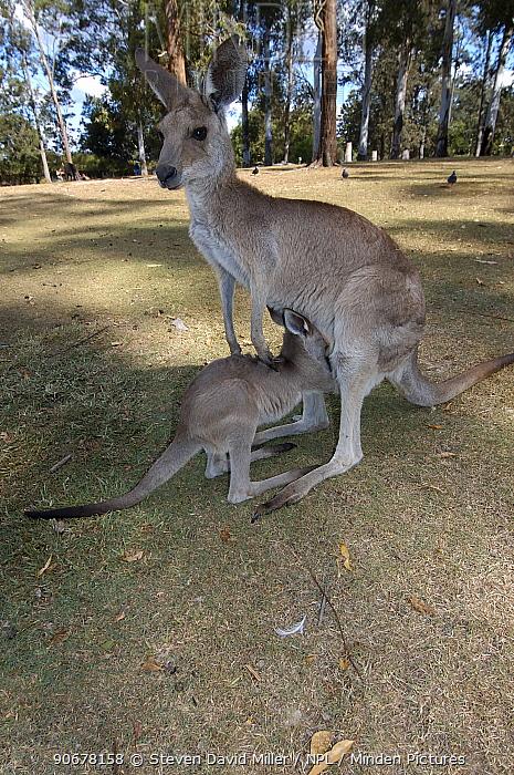 Great, Eastern Grey Kangaroo, Forester Kangaroo (Macropus giganteus) joey reaching inside mother's pouch for a drink, Eucalyptus woodland enclosure, Lone Pine Koala Sanctuary, Brisbane, Queensland, Australia  -  Steven David Miller/ npl
