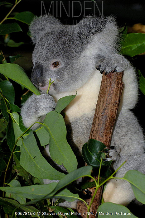 Koala (Northern Form) (Phascolarctos cinereus)feeding on gum leaves, Lone Pine Koala Sanctuary, Brisbane, Queensland, Australia  -  Steven David Miller/ npl