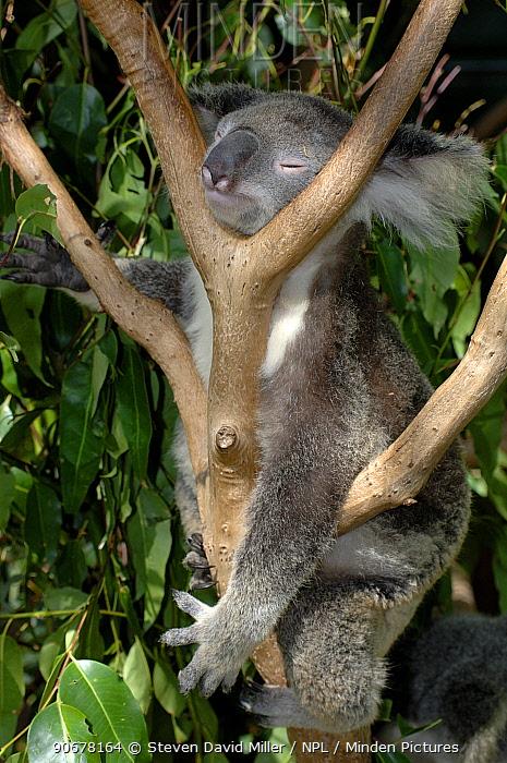 Koala (Phascolarctos cinereus) (Northern Form) sleeping in fork of tree, Lone Pine Koala Sanctuary, Brisbane, Queensland, Australia  -  Steven David Miller/ npl
