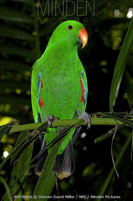 Male Eclectus Parrot (Eclectus roratus) perching on branch, The Australia Zoo, Beerwah, Queensland, Australia  -  Steven David Miller/ npl