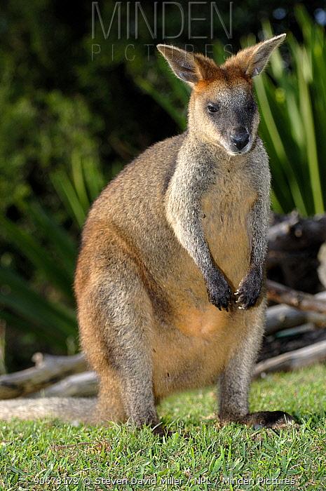 Whiptail Wallaby (Macropus parryi)  -  Steven David Miller/ npl