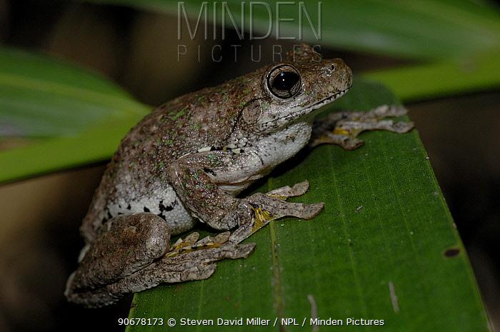 Peron's Tree Frog (Litoria peronii) on palm frond, Beerwah, Queensland, Australia  -  Steven David Miller/ npl