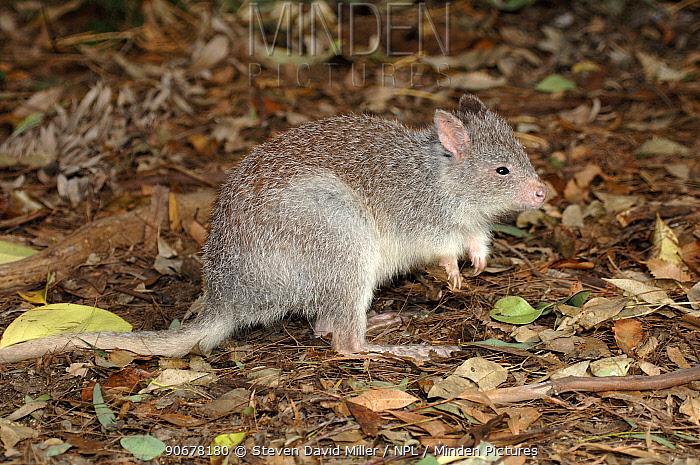 Rufous Bettong, Rufous rat kangaroo(Aepyprymnus rufescens) Waratah Park Earth Sanctuary, Duffy's Forest, New South Wales, Australia  -  Steven David Miller/ npl