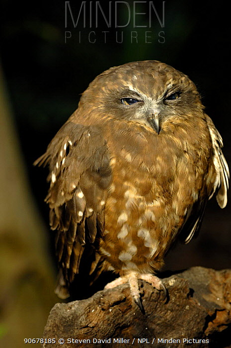 Southern Boobook Owl (Ninox novaeseelandiae) resting on log during day, Gosford, New South Wales, Australia Captive rehab bird  -  Steven David Miller/ npl