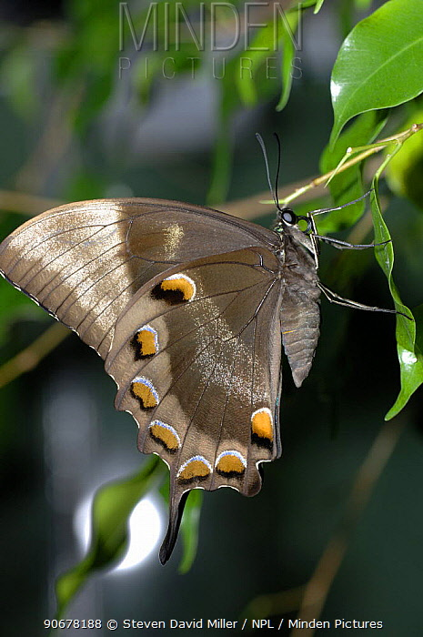 Ulysses butterfly (Papilio ulysses) Resting on leaf showing wing underside, Coffs Harbour, New South Wales, Australia  -  Steven David Miller/ npl