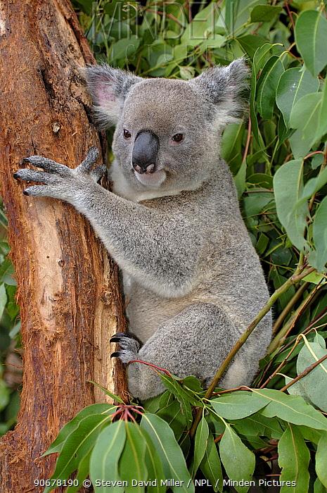 Koala (Phascolarctos cinereus) (southern form) clinging to tree, Waratah Park Earth Sanctuary, Duffy's Forest, New South Wales, Australia  -  Steven David Miller/ npl