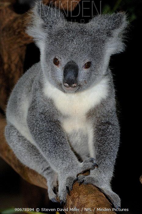 Portrait of 1-year Koala (Phascolarctos cinereus) (Northern Form) climbing tree, Lone Pine Koala Sanctuary, Brisbane, Queensland, Australia  -  Steven David Miller/ npl