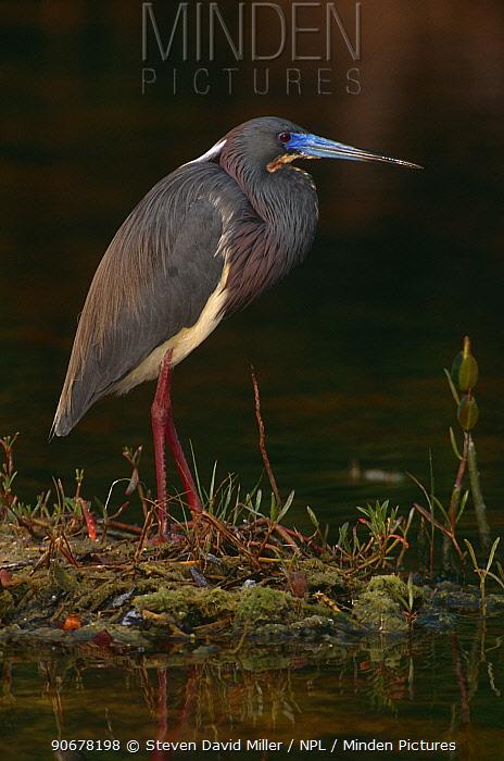 Tricolor heron (Egretta tricolor) Ding Darling NWR, Florida, USA  -  Steven David Miller/ npl