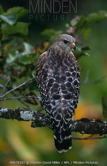 Red-shouldered hawk (Buteo lineatus) Pale Florida form, Corkscrew swamp, Florida, USA  -  Steven David Miller/ npl