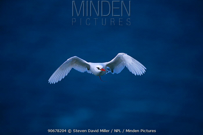 Red tailed tropicbird (Phaethon rubricauda) flying, Lord Howe Is, New South Wales, Australia  -  Steven David Miller/ npl