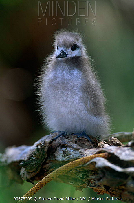 White, Fairy tern (Gygis alba) Chick waiting for parent to return with food, Lord Howe Is, New South Wales, Australia  -  Steven David Miller/ npl