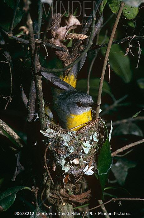 Eastern yellow robin (Eopsaltria australis) on nest, Lamington, NP, Australia  -  Steven David Miller/ npl