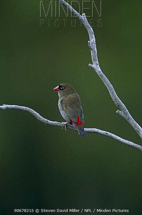 Beautiful firetail finch (Emblema bella) Southwest NP, Tasmania, Australia  -  Steven David Miller/ npl