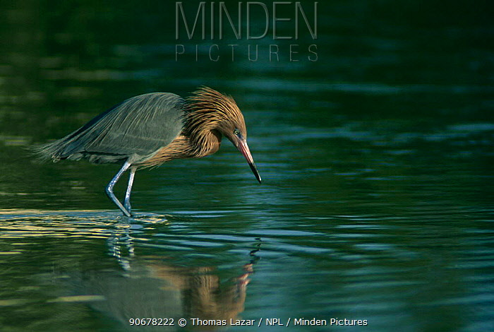 Reddish egret (Egretta rufescens) fishing, USA  -  Thomas Lazar/ npl
