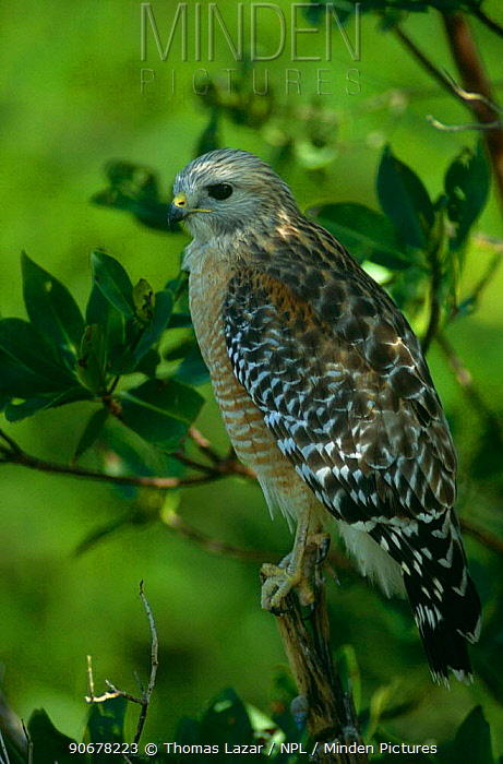 Red shouldered hawk (Buteo lineatus) Ding Darling NWR, Florida, USA  -  Thomas Lazar/ npl