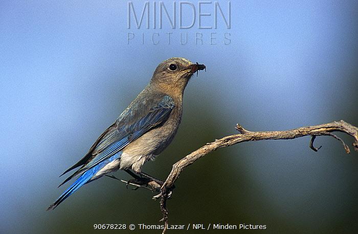 Mountain bluebird (Sialia currucoides) female, USA  -  Thomas Lazar/ npl