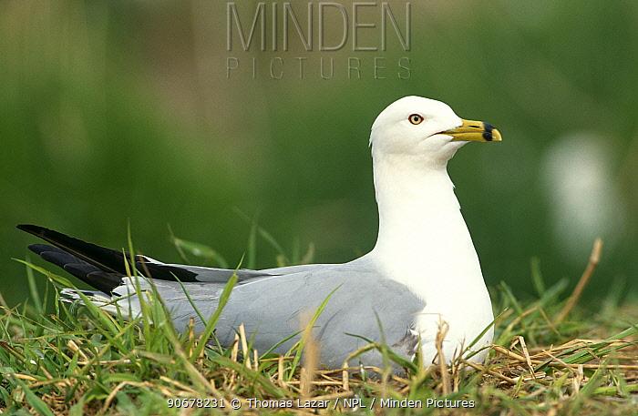 Ring-billed gull (Larus delawarensis) Lake Michigan, Wisconsin, USA  -  Thomas Lazar/ npl
