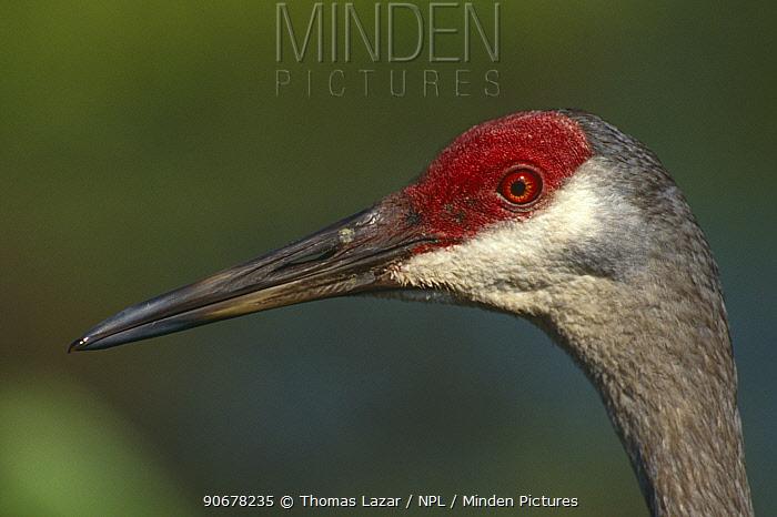 Sandhill crane (Grus canadensis) Florida, USA  -  Thomas Lazar/ npl