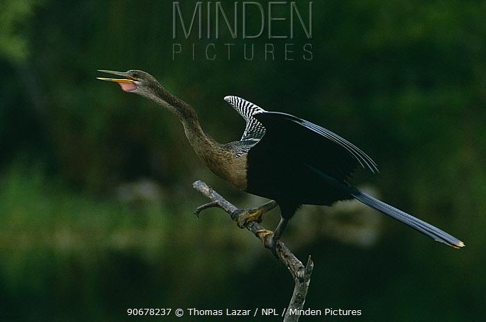 American darter (Anhinga anhinga) calling, Ding Darling NWR, Florida, USA  -  Thomas Lazar/ npl