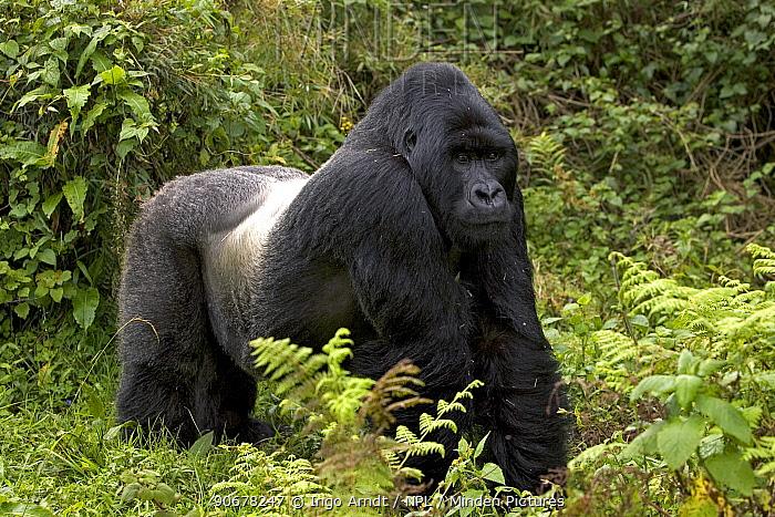 Silverback Mountain gorilla (Gorilla gorilla berengeii) Parc National des Volcans, Rwanda  -  Ingo Arndt/ npl